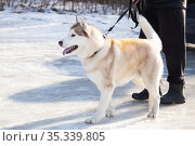 Pet animal friend sled dog husky breed redhead walks on a leash with a human owner outdoors in the snow in winter in cold weather. Стоковое фото, фотограф Светлана Евграфова / Фотобанк Лори