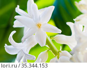 Цветы. Белые гиацинты. Крупный план. Стоковое фото, фотограф E. O. / Фотобанк Лори