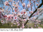 Closeup of blooming almond tree pink flowers during springtime. Стоковое фото, фотограф Сергей Старуш / Фотобанк Лори