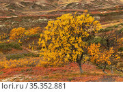 Autumn colours in Bratthoea, Forollhogna National Park, Norway. September 2020. Стоковое фото, фотограф Erlend Haarberg / Nature Picture Library / Фотобанк Лори