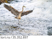 Great blue heron (Ardea herodias) fishing in foaming water discharged from water treatment works into Sweetwater Wetlands. . Tucson, Arizona, USA. 2020. Стоковое фото, фотограф Jack Dykinga / Nature Picture Library / Фотобанк Лори