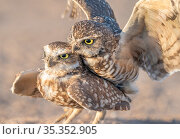 Burrowing owl (Athene cunicularia) pair mating. Marana, Arizona, USA. Стоковое фото, фотограф Jack Dykinga / Nature Picture Library / Фотобанк Лори