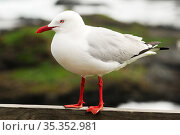Silver gull (Chroicocephalus novaehollandiae), portrait. Phillip Island, Victoria, Australia. September. Стоковое фото, фотограф Enrique Lopez-Tapia / Nature Picture Library / Фотобанк Лори