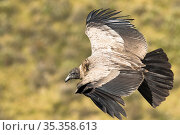 Andean condor (Vultur gryphus) juvenile female in flight, Antisanilla reserve, Ecuador. Стоковое фото, фотограф Maxime Aliaga / Nature Picture Library / Фотобанк Лори