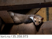 Beech / Stone marten (Martes foina) looking down from beam in wooden roof truss, Germany. Captive. Стоковое фото, фотограф Philippe Clement / Nature Picture Library / Фотобанк Лори