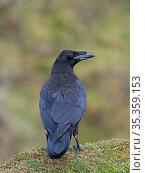 Raven (Corvus corax) Shetland, Scotland, UK, June. Стоковое фото, фотограф David Tipling / Nature Picture Library / Фотобанк Лори