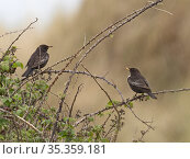 Ring ouzel (Turdus torquatus) migrant in dunes at Gun Hill, Burnham Overy, Norfolk, April. Стоковое фото, фотограф David Tipling / Nature Picture Library / Фотобанк Лори