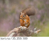 Red squirrel (Sciurus vulgaris) in Caledonian Pine Forest, Cairngorms National Park, Scottish Highlands, UK. Стоковое фото, фотограф David Tipling / Nature Picture Library / Фотобанк Лори
