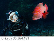 Scuba diver with red barred hogfish, (Bodianus scrofa), Santa Maria Island, Azores, Portugal, Atlantic Ocean. Редакционное фото, фотограф Franco Banfi / Nature Picture Library / Фотобанк Лори