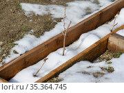 Саженцы винограда в деревянной лунке, первая весенняя оттепель, и тает снег. Стоковое фото, фотограф Иванов Алексей / Фотобанк Лори