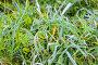 Зелёная трава покрытая изморозью. Стоковое фото, фотограф Литвяк Игорь / Фотобанк Лори