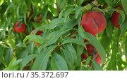 Harvesting. Closeup of ripe doughnut peaches hanging in green leaves on tree branches. Стоковое видео, видеограф Яков Филимонов / Фотобанк Лори