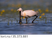 Spoonbill ( Platalea leucorodia) wading, with yellow Water-lily flowers, Hungary. Стоковое фото, фотограф Hermann Brehm / Nature Picture Library / Фотобанк Лори