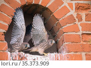 Kestrel (Falco tinnunculus), chicks stretching wings, Germany. Стоковое фото, фотограф Hermann Brehm / Nature Picture Library / Фотобанк Лори