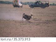 Cheetah (Acinonyx jubatus) killing a young wildbeast with safari vehicles watching nearby, Masai Mara, Kenya. Стоковое фото, фотограф Hermann Brehm / Nature Picture Library / Фотобанк Лори