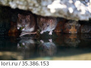 Brown rat (Rattus norvegicus), two on bank of River Yonne, one feeding on leaf. Sens, France. September. Стоковое фото, фотограф Cyril Ruoso / Nature Picture Library / Фотобанк Лори