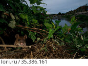 Brown rat (Rattus norvegicus) amongst vegetation on bank of River Yonne. Sens, Bourgogne-Franche-Comte, France. September 2019. Стоковое фото, фотограф Cyril Ruoso / Nature Picture Library / Фотобанк Лори