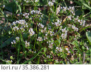 Danish scurvygrass (Cochlearia danica) on road verge. Surrey, England... Стоковое фото, фотограф Linda Pitkin / Nature Picture Library / Фотобанк Лори
