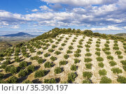 Cultivated olive trees (Olea europaea). Aerial view. Drone shot. ... Стоковое фото, фотограф Thomas Dressler / age Fotostock / Фотобанк Лори