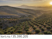 Cultivated olive trees (Olea europaea) at sunrise. Aerial view. Drone... Стоковое фото, фотограф Thomas Dressler / age Fotostock / Фотобанк Лори