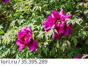 A large flowering bush of bright scarlet terry peony (Paeonia suffruticosa) Стоковое фото, фотограф irisff / Фотобанк Лори