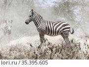 Plains zebra. Стоковое фото, фотограф Art Konovalov / Фотобанк Лори