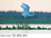 Great white heron / egret (Ardea / Egretta alba) taking off,  Nemunas Delta Nature Reserve, Lithuania. Стоковое фото, фотограф Staffan Widstrand / Nature Picture Library / Фотобанк Лори