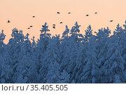 Black grouse (Lyrurus tetrix) a flock in flight, Suomussalmi Finland, January. Стоковое фото, фотограф Markus Varesvuo / Nature Picture Library / Фотобанк Лори