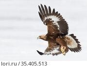 Golden eagle (Aquila chrysaetos) Sodankyla, Lokka, Finland, April. Стоковое фото, фотограф Markus Varesvuo / Nature Picture Library / Фотобанк Лори