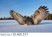 Great Grey Owl (Strix nebulosa) landing in snow, Kuhmo Finland, March. Стоковое фото, фотограф Markus Varesvuo / Nature Picture Library / Фотобанк Лори