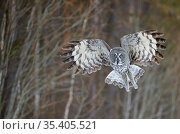 Great Grey Owl (Strix nebulosa) hunting, Kuhmo Finland, March. Стоковое фото, фотограф Markus Varesvuo / Nature Picture Library / Фотобанк Лори
