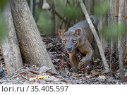 Fosa / Fossa (Cryptoprocta ferox) male in dry decidous forest. Kirindy... Стоковое фото, фотограф Nick Garbutt / Nature Picture Library / Фотобанк Лори
