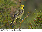 Yellow cardinal (Gubernatrix cristata) male perched on branch. Calden Forest, Argentina. Стоковое фото, фотограф Gabriel Rojo / Nature Picture Library / Фотобанк Лори