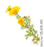 Flora of Gran Canaria - flowering yellow Glebionis coronaria aka garland chrysanthemum isolated on white background. Стоковое фото, фотограф Tamara Kulikova / Фотобанк Лори