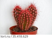 Cactus covered with red wax paint on a white background. Стоковое фото, фотограф Володина Ольга / Фотобанк Лори