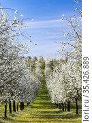 Flowering cherry orchard near Cejkovice, Southern Moravia, Czech Republic... Стоковое фото, фотограф Richard Semik / easy Fotostock / Фотобанк Лори