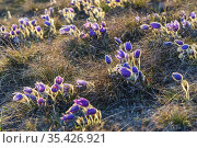 Pasque flower, National park Podyji, Southern Moravia, Czech Republic. Стоковое фото, фотограф Richard Semik / easy Fotostock / Фотобанк Лори