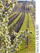 Flowering cherry with vineyard near Cejkovice, Southern Moravia, Czech... Стоковое фото, фотограф Richard Semik / easy Fotostock / Фотобанк Лори