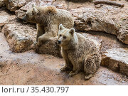 Two Syrian or Transcaucasian brown bears at the zoo. Стоковое фото, фотограф Наталья Волкова / Фотобанк Лори