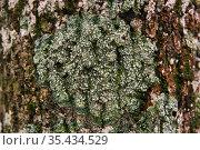 Spore-bearing lichen on the tree bark close-up. Стоковое фото, фотограф Евгений Харитонов / Фотобанк Лори