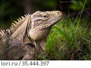 Cayman Island brown iguana (Cyclura nubila caymanensis) on the beach, Cayman Brac, Cayman Islands. Critically endangered species. Стоковое фото, фотограф Will Burrard-Lucas / Nature Picture Library / Фотобанк Лори