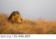 Lion (Panthera leo) resting in grass, Busanga Plains, Kafue National Park, Zambia. Стоковое фото, фотограф Will Burrard-Lucas / Nature Picture Library / Фотобанк Лори