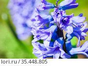 Hyacinths flowers macro photo. Стоковое фото, фотограф EugeneSergeev / Фотобанк Лори