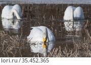 Whooper swan (Cygnus cygnus), three dabbling. Luhanka, Finland. March. Стоковое фото, фотограф Jussi Murtosaari / Nature Picture Library / Фотобанк Лори