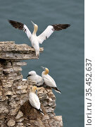 Gannet (Morus bassana) adult stretching its wings, Bempton cliffs, Yorkshire, England, UK, July. Стоковое фото, фотограф Michel Poinsignon / Nature Picture Library / Фотобанк Лори