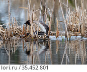 Great crested grebe (Podiceps cristatus) pair mating on potential nest platform, from North Hide, Westhay Moor National Nature Reserve, Somerset Wildlife... Стоковое фото, фотограф Mike Read / Nature Picture Library / Фотобанк Лори