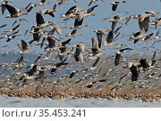 White-fronted goose (Anser albifrons) and Taiga bean goose (Anser fabalis) flocks flying and on water. Latvia. April. Стоковое фото, фотограф Markus Varesvuo / Nature Picture Library / Фотобанк Лори