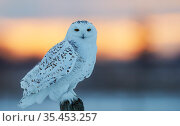 Snowy owl (Bubo scandiaca) female perched on post. Canada. February. Стоковое фото, фотограф Markus Varesvuo / Nature Picture Library / Фотобанк Лори