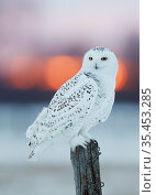 Snowy owl (Bubo scandiaca) female perched on fence post. Canada. February. Стоковое фото, фотограф Markus Varesvuo / Nature Picture Library / Фотобанк Лори