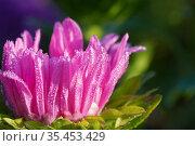 Капли росы на цветке астры. Стоковое фото, фотограф Dmitry29 / Фотобанк Лори